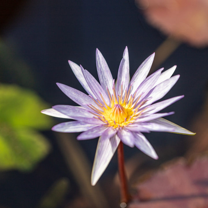 light purple water lily