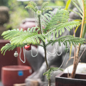 sustainable living Christmas tree Norfolk pine Kauai